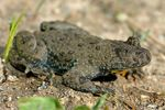 Title: Yellow-bellied toad