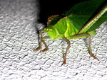 Title: Green Cricket