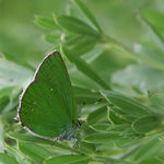 Title: Green Hairstreak.