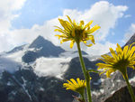Title: Glacier and Doronicum. Camera: Sony Cybershot DSC-H5