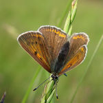 Title: Lycaena hippothoe, female.