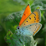 Title: Lycaena dispar. Camera: Sony Cybershot DSC-H5