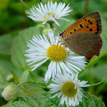 Title: Lycaena phlaeas on Erigeron.