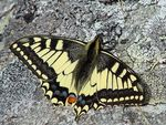 Title: Swallowtail - at 2820 meters.