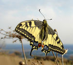 Title: Papilio machaon.