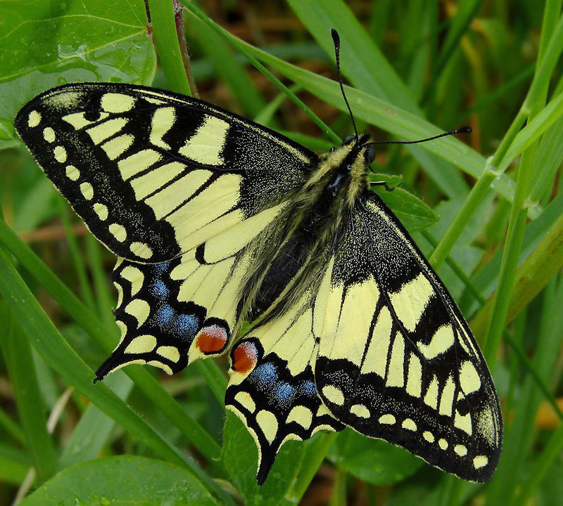 Machaon on a Rainy Day in May.