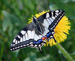 Title: Swallowtail at stormy weather.
