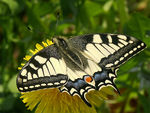 Title: Machaon.