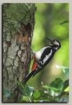 Title: Great Spotted Woodpecker