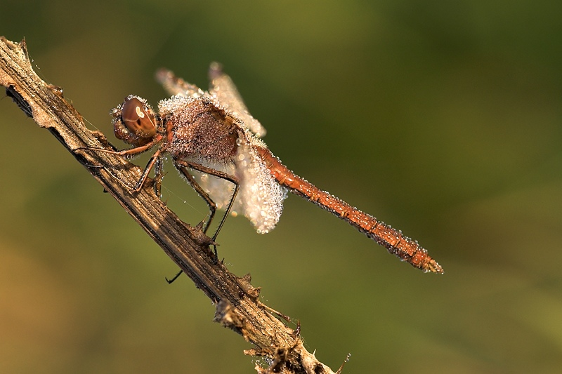 Common darter with morning dew drops