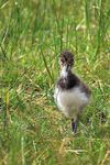 Title: Young Lapwing