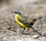 Title: Yellow Wagtail 2