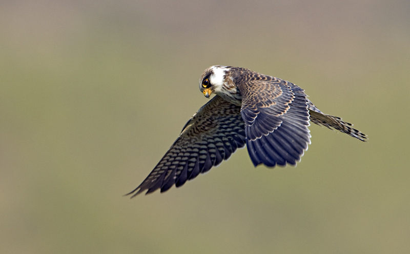 Red-footed Falcon f 5