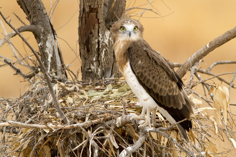Short -toed Eagle