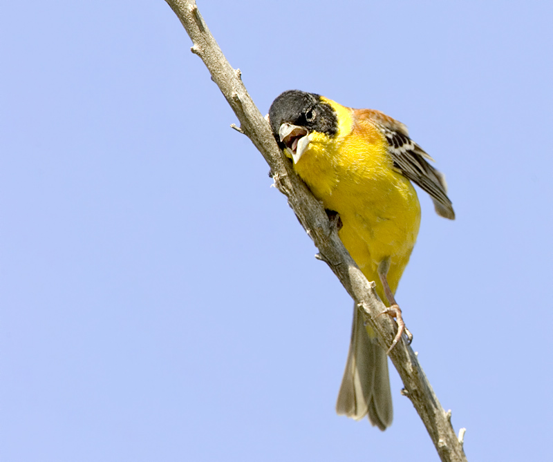 Black Headed Bunting C