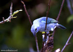 Title: Blue Gray Tanager