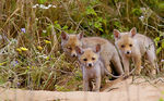 Title: Fox puppies