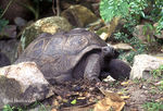 Title: Giant Tortoise
