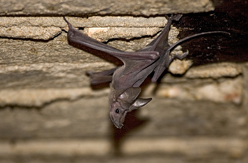 Greater Mouse-tailed Bat