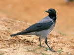 Title: Hooded crow