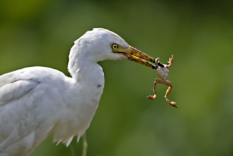 Cattle Egret with Treefrog