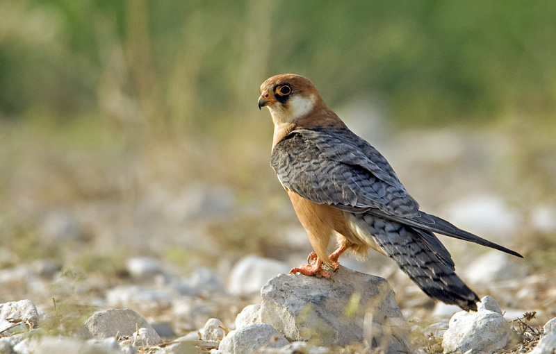 Red-footed Falcon f 6