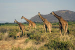 Title: Reticulated Giraffe
