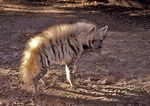 Title: Striped hyaena