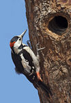 Title: Syrian Woodpecker nesting