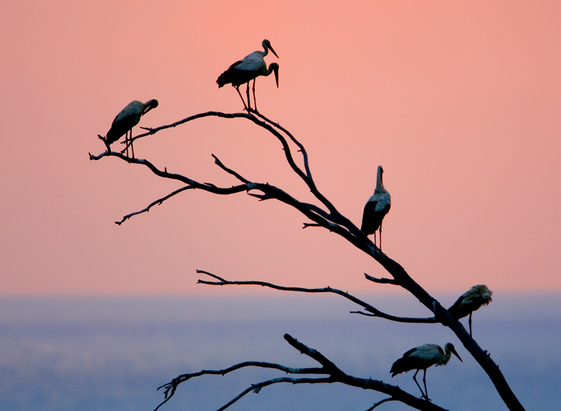 the first white storks