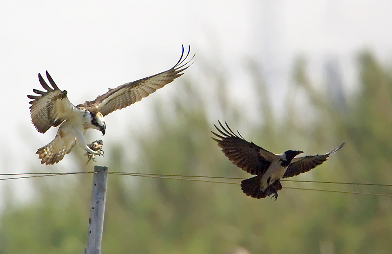 The Osprey and the Crow