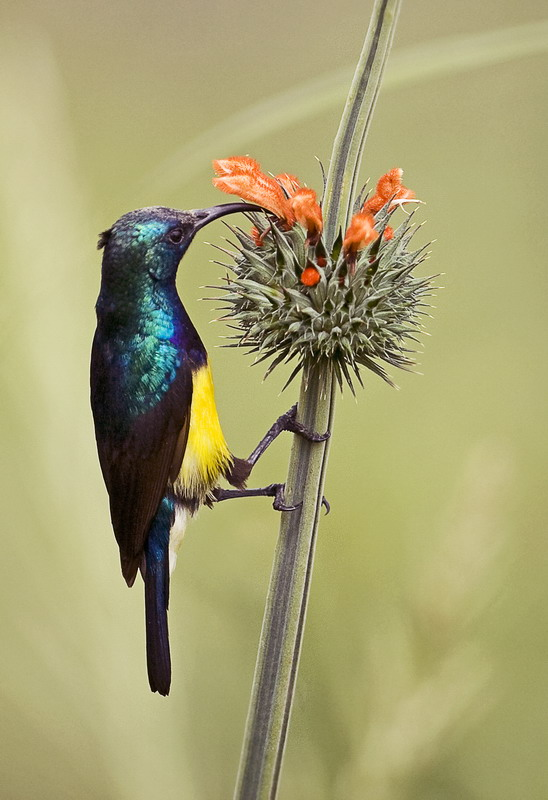 Variable Sunbird 2