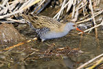 Title: Water Rail