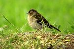 Title: The Common chaffinch