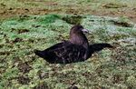 Title: South Polar Skua