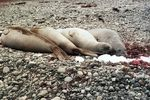 Title: Southern elephant seals