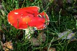 Title: The fly agaric