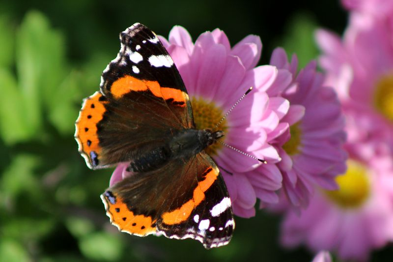 Autumnal butterfly