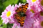 Title: The Comma butterfly