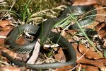 Title: The grass snake