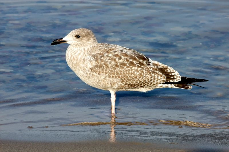The young Gull