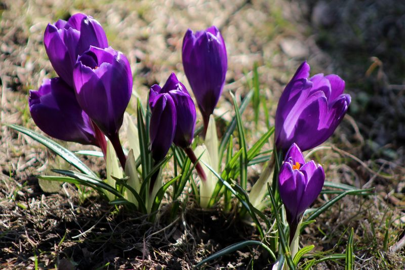 The first crocuses