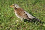 Title: The Fieldfare