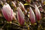 Title: The flowers of Magnolia