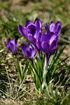 Title: The Spring Crocuses