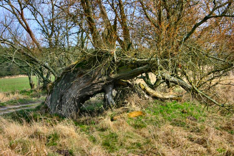 Very old willow
