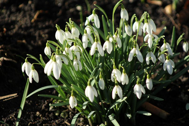 The group of Snowdrops