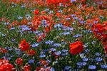 Title: Poppies & Cornflowers