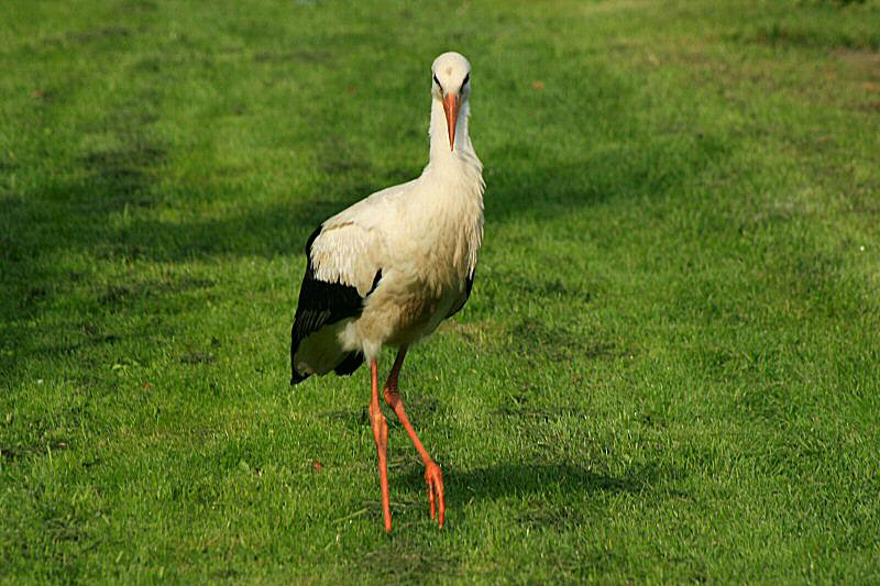 The young white stork