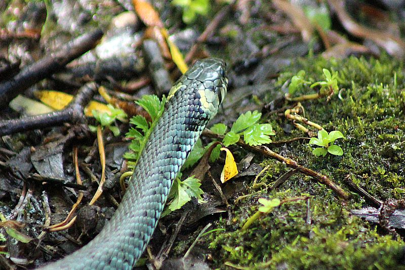 The head of the grass snake